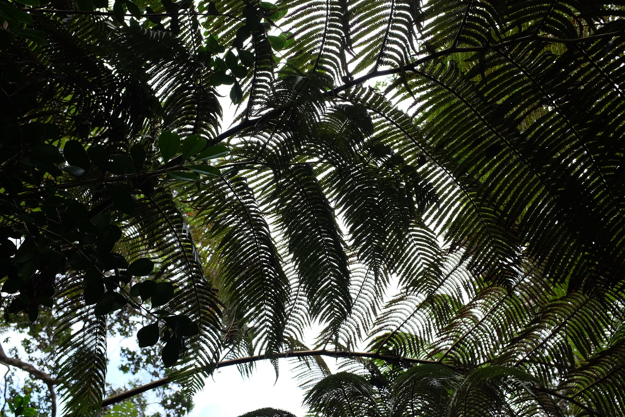 Tree ferns overhead