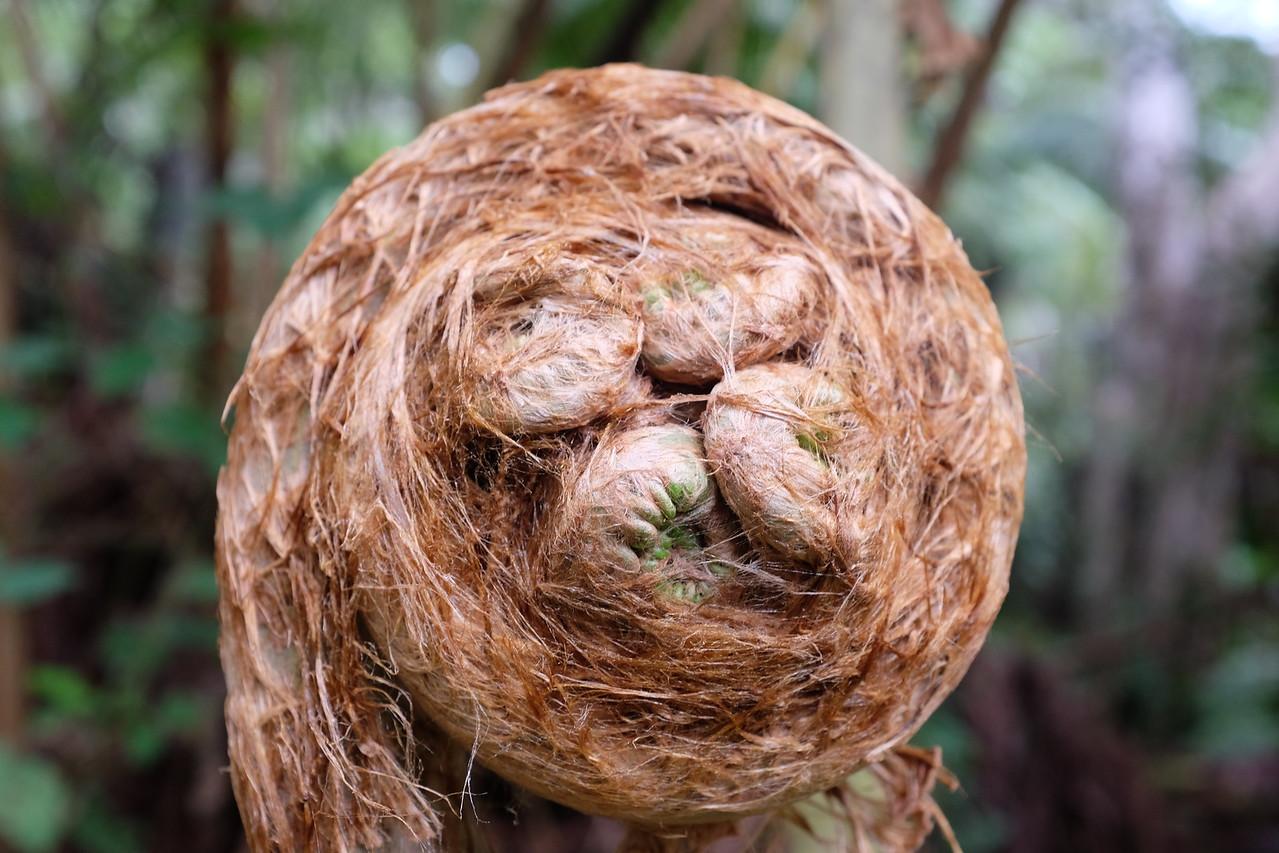 Tree fern, still curled