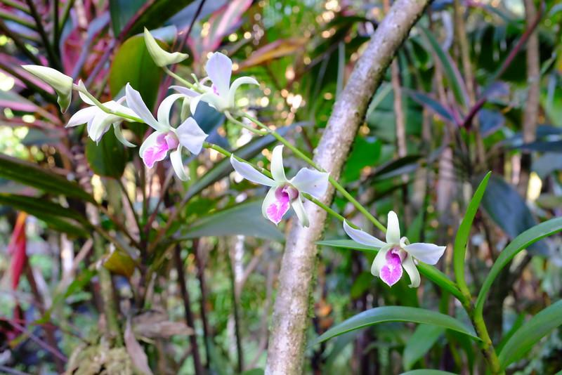 Orchids, Hawaii Tropical Botanical Garden