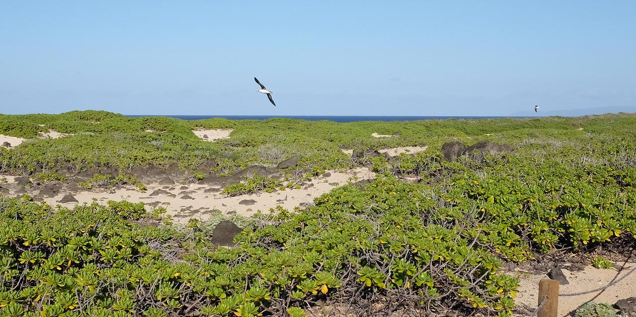 Laysan albatrosses in flight