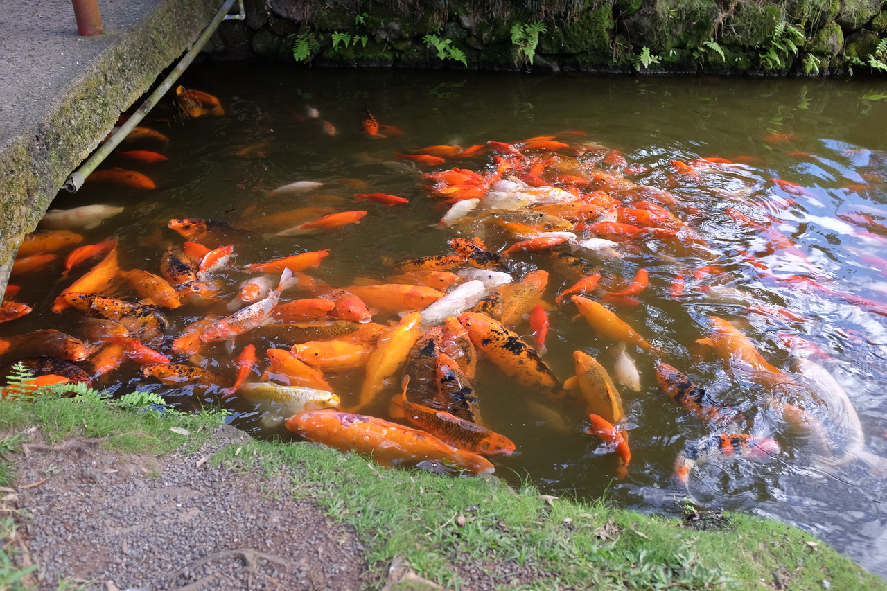 Feeding frenzy, Byodo-In Temple, Valley of the Temples Memorial Park, Oahu