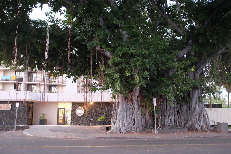 Large banyan, Ali'i Drive, Kailua-Kona