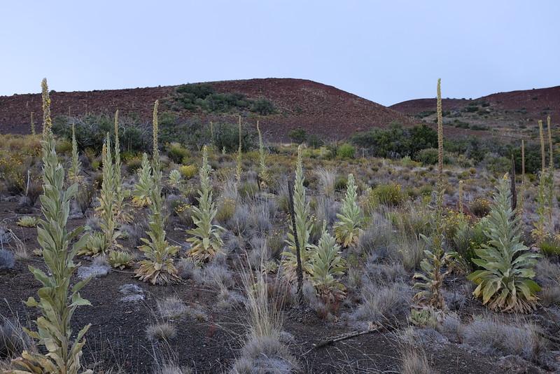 Mauna Kea vegetation, c. 9200 feet above sea level