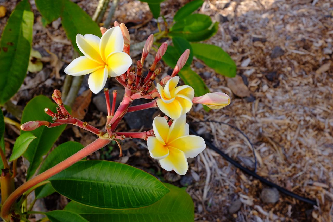Plumeria flowers, Old Airport Park, Kailua-Kona