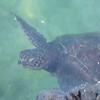 Honu (green sea turtle) in the lagoon