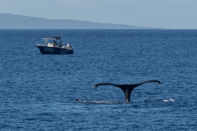A Whales Tail - One of over 3,500 Winter Residents