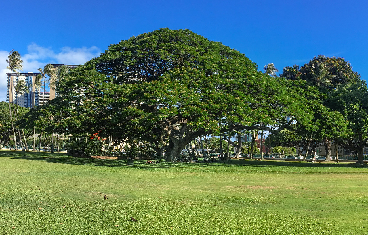 Hawaii 2017; Monkeypod Tree (Albizia samans) The Royal Palace, Oahu: Waikiki and Honolulu
