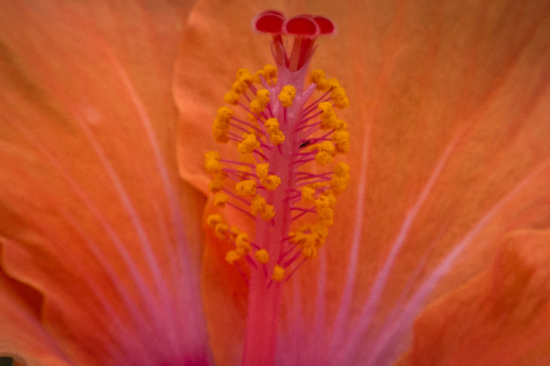 Anatomy of a Hibiscus
