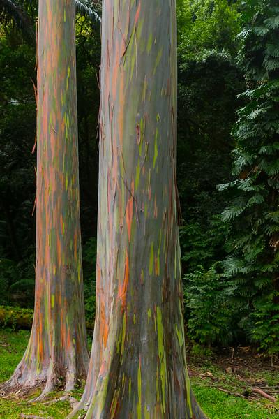 Painted Eucalyptus Trees in Keanae Arboretum in Maui