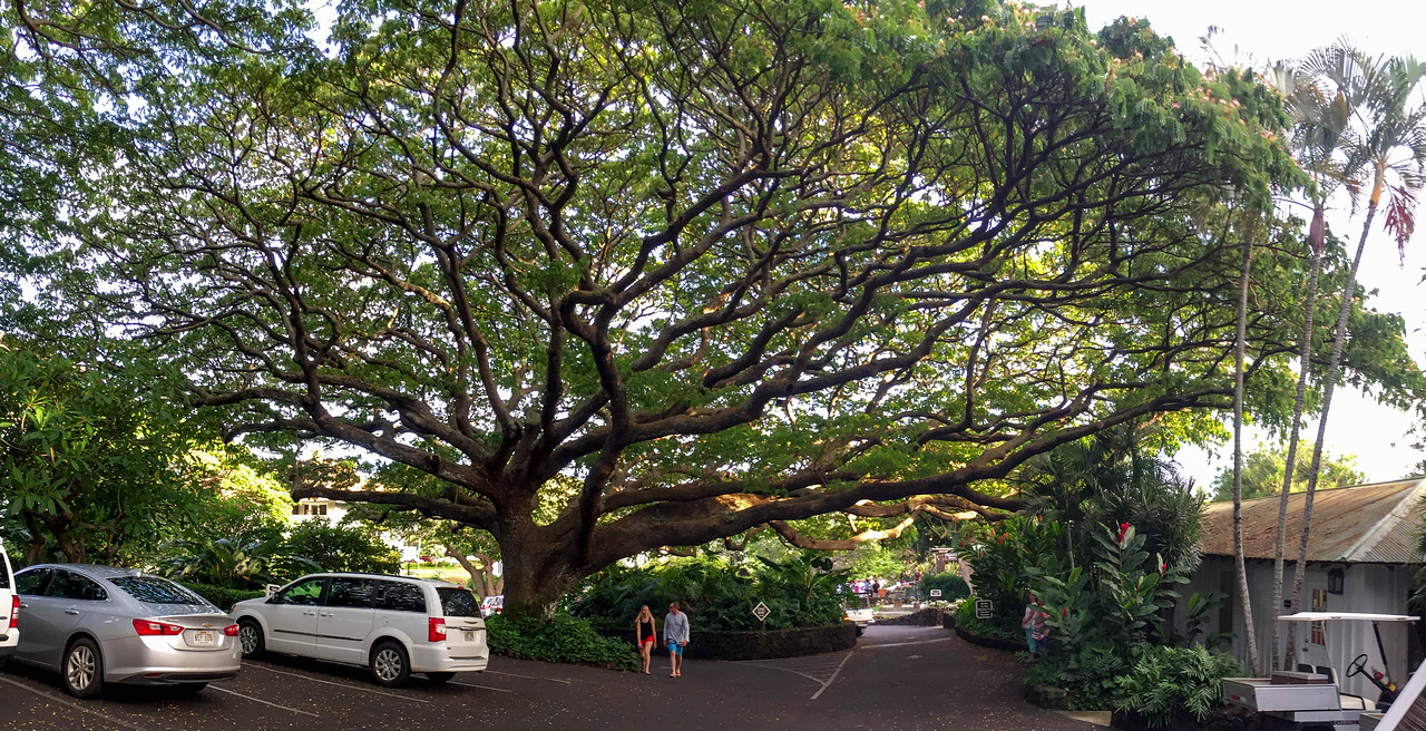 Hawaii 2017; Kauai. Monkey pod tree (Albizia saman) Plantation Gardens, Po'ipu next to the Sheraton