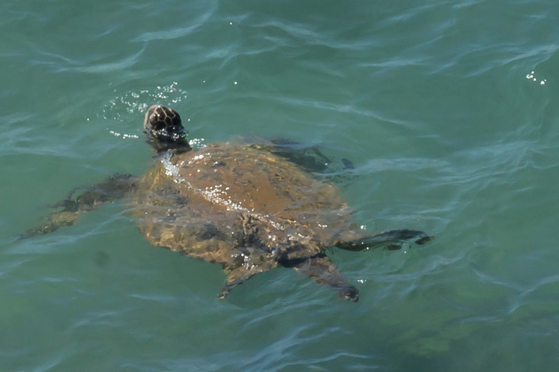 Pacific Green Turtle Swimming by Our Lanai