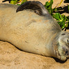 "Basking Monk Seal on ""Our"" Beach"