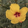 Another Hibiscus