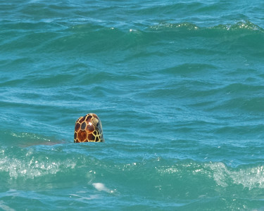 Honu sighting!