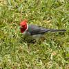 Red-creasted Cardinal at Waimea Center 2