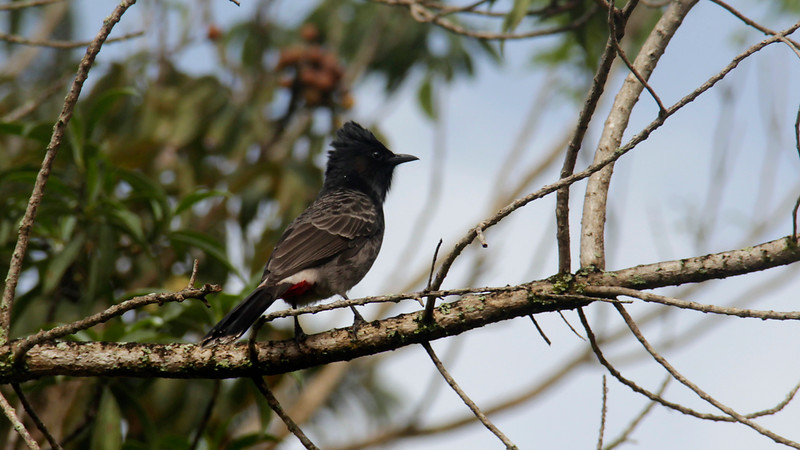 Red-vented Bulbul at the Dole Plantation