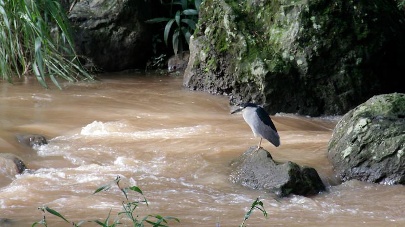 Black-crowned Night-Heron at Waimea Falls