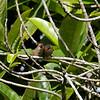 Common Waxbills at Waimea Falls
