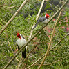 Red-creasted Cardinal at Waimea Center 3