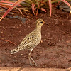 Pacific Golden-Plover at the Dole Planation