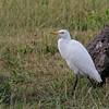 12-3-2016 Cattle Egret at Laai