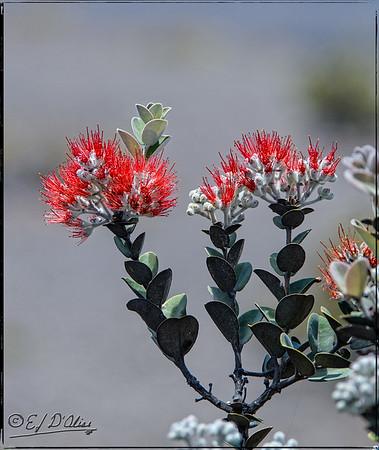 ohialehua plant