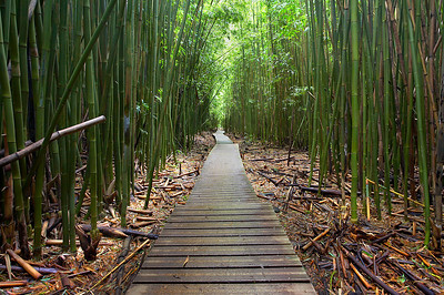 This path goes 2 miles along the stream that forms the seven sacred pools of Oheo Gulch.  While there are more than seven pools and they are not sacred, they are spectacular to see and swim.  Along the way to the 400+ vertical foot Waimoku falls, there are many bridges, forests and canyons.  And this bamboo forest is one of the highlights of the trip.  It is dark, warm and humid here.  It feels like you are in a hothouse with no wind at all.  The air is this with oxygen.  I did not want to leave so I spent some extra time here trying to get this photograph.  I will always remember this place better now that I have this photo.