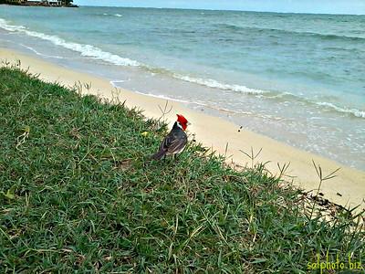 Red Crested Cardinal at Kualoa Regional State Park (Oahu, Hawaii)