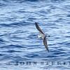 Black-winged Petrel