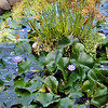 lilypads_enlarge