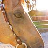 0m2q8675-tradewinds quarter horses-tradewinds pet suites-sandy van-waianae-oahu-hawaii-2010