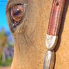 0m2q8683-tradewinds quarter horses-tradewinds pet suites-sandy van-waianae-oahu-hawaii-2010