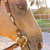 0m2q8672-tradewinds quarter horses-tradewinds pet suites-sandy van-waianae-oahu-hawaii-2010