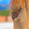 0m2q8677-tradewinds quarter horses-tradewinds pet suites-sandy van-waianae-oahu-hawaii-2010