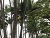 Guy in a tree.<br /> <br /> Keauhou, HI.