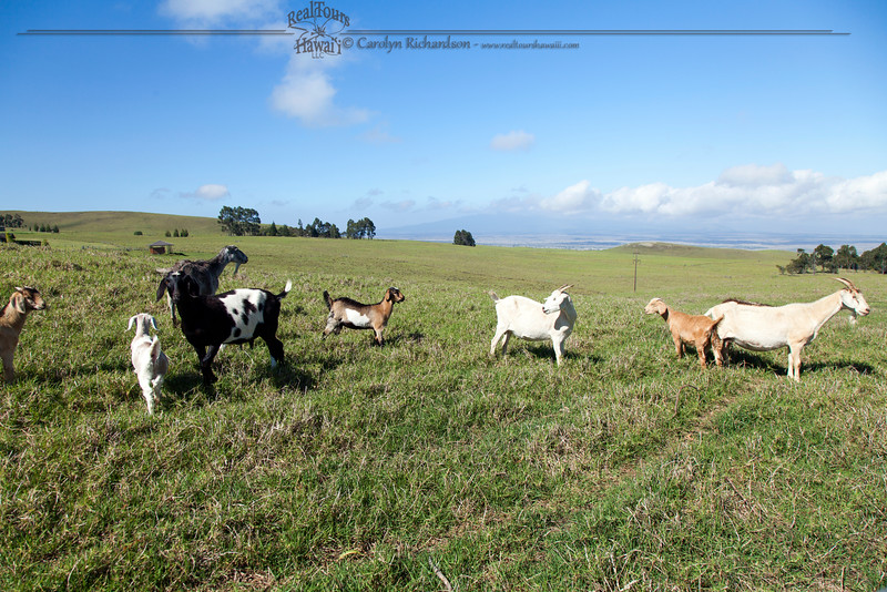 Goats of Waikii Ranch