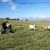 Goats of Waikii Ranch