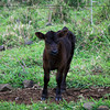 Calf with Attitude