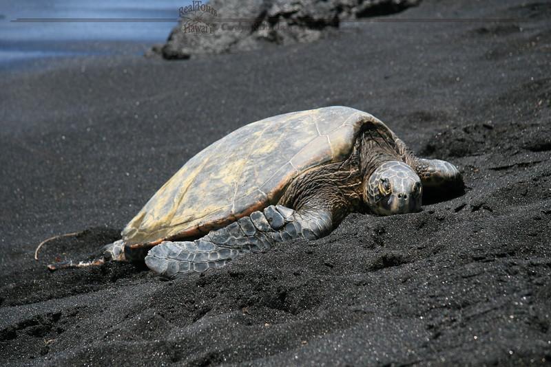 Honu at Punaluu Black Sand Beach