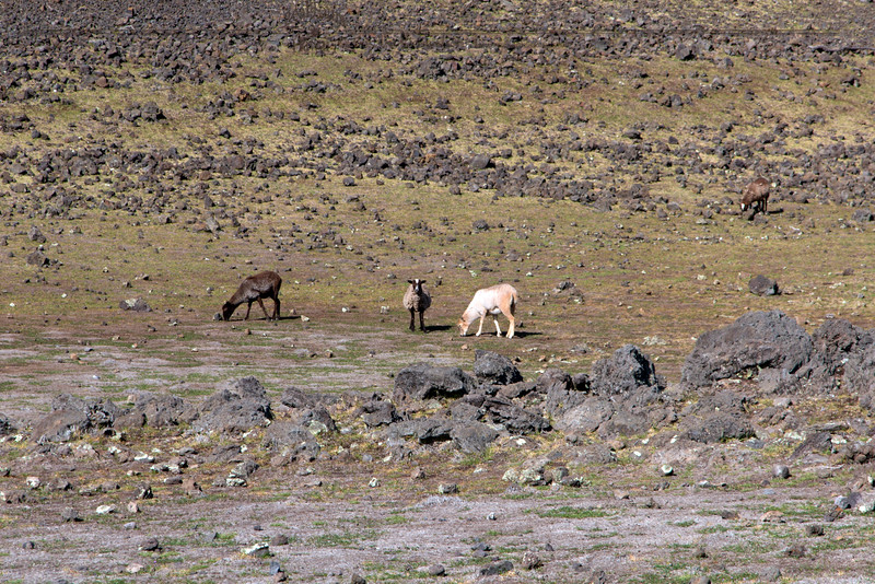 Sheep on the slopes of Mauna Kea