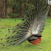 Peacock at Makalei