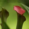 Slipper lily