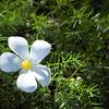Fallen Plumeria Blossom