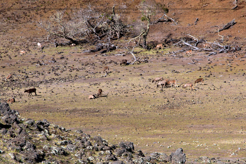 Wild Sheep on the slopes of Mauna Kea
