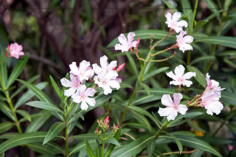 Hawaii Oleander