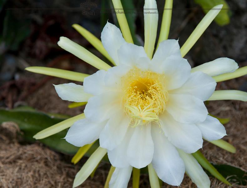 Dragon Fruit Blossom
