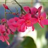 Jatropha Blossoms