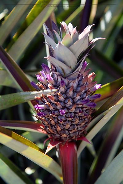 Pineapple blossom