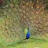 Struting Peacock