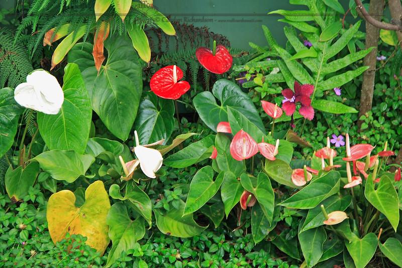 Anthurium Garden